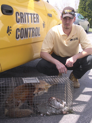 Critter Control Toledo employee with trapped fox